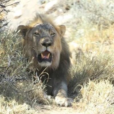 Ban on captive lion breeding could backfire – expert