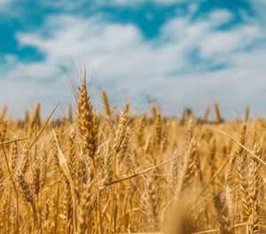 Late rainfall sees Free State farmers returning to wheat