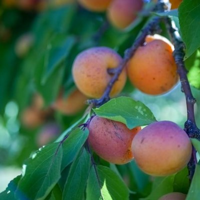 Apricot canning industry recovers after difficult period