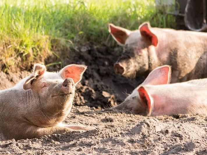 New African swine fever outbreak in Gauteng