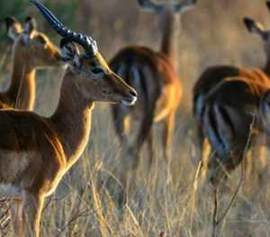 Bringing more South African game meat to dinner tables