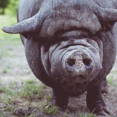 Western Cape confirms swine fever outbreak