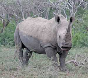 Two men appear for possession of 167 rhino horns