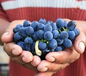 Bad weather saps SA's wine grape harvest