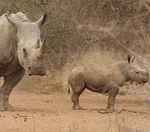 Latest rhino poaching statistics called into question