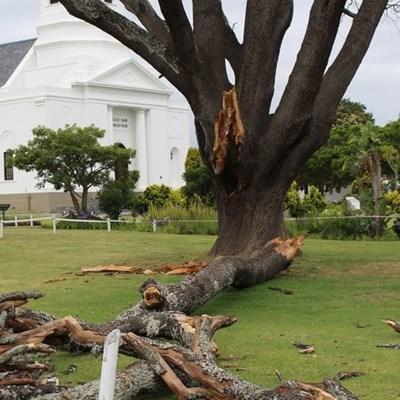 Moederkerk se ou eikeboom vrek