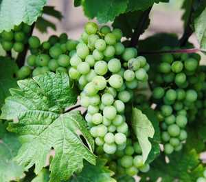 SA to harvest its largest table grape crop on record