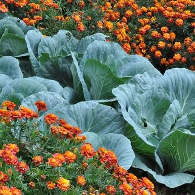 Companion herbs for winter veggies