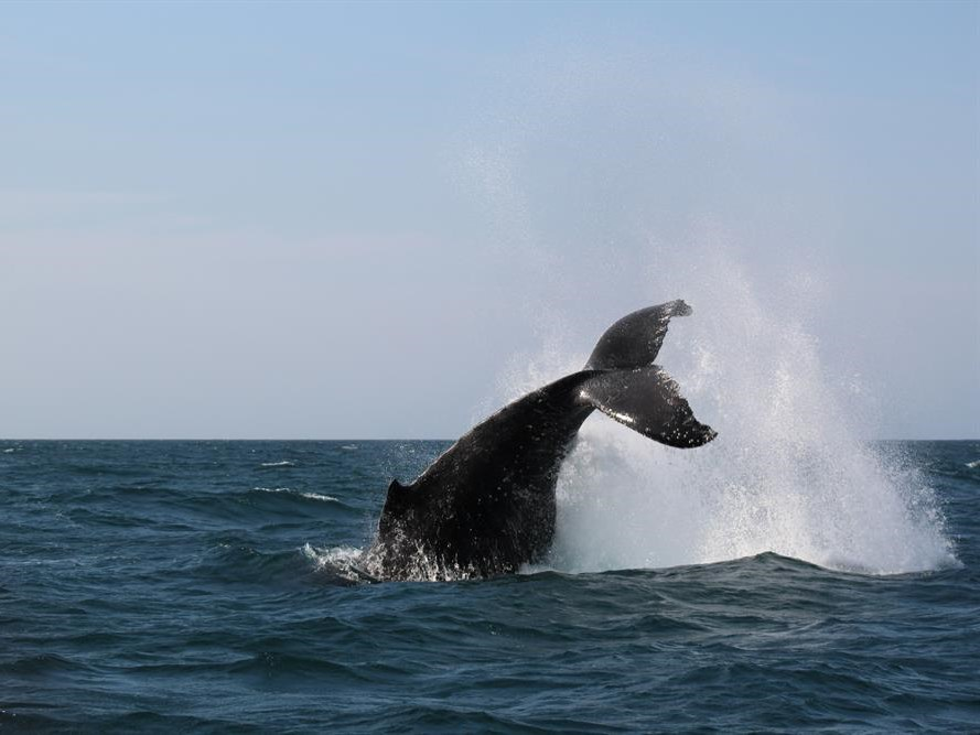 Humpback whales at play