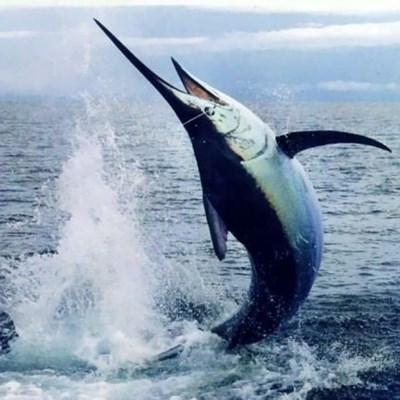 Massive marlin sinks Filipino fishing boat