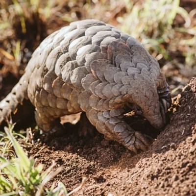 Too early to know if pangolins spread Covid-19, say experts