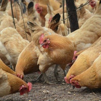 SA Poultry warns against untested imported chicken paste