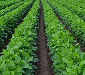 2018 soya bean crop expected to be largest in SA history