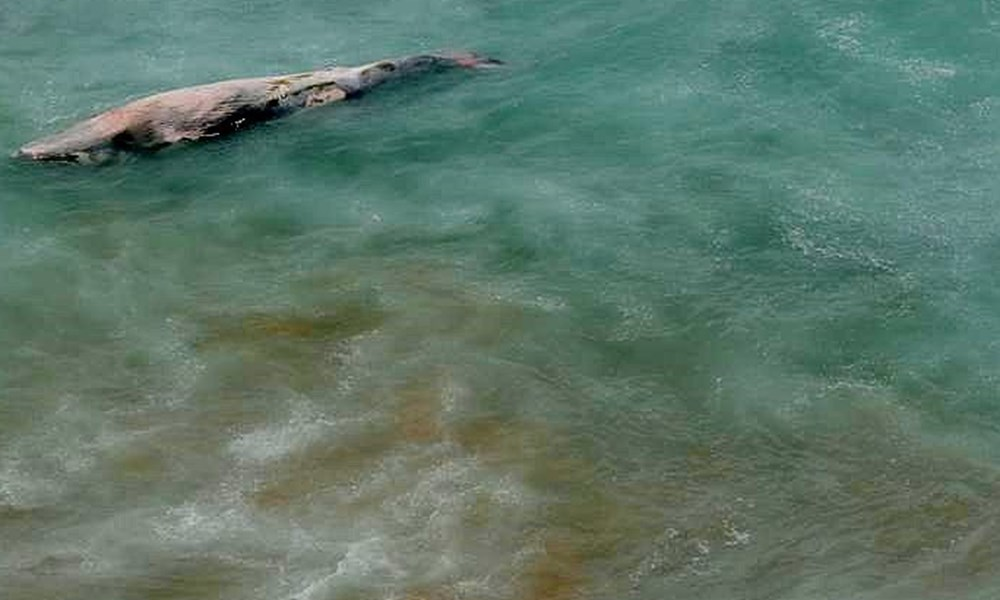 Humpback whale washed up in Dana Bay