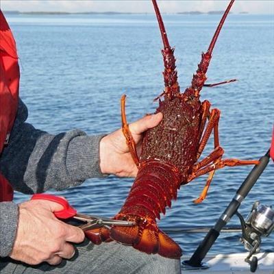 Open season for rock lobster fishing | Mossel Bay Advertiser