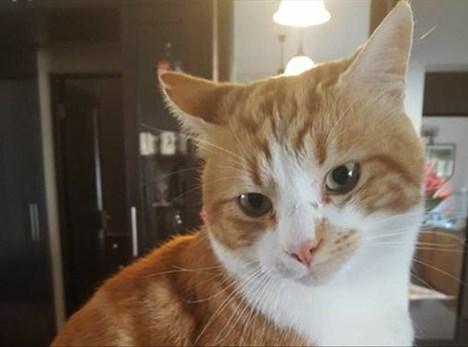 Missing cat, reward offered