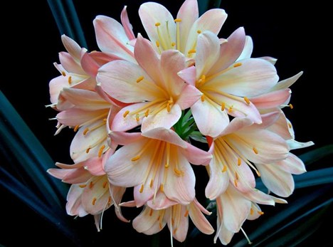 Don't miss the clivia show