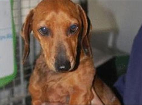 Lost dachshund found after 2 years