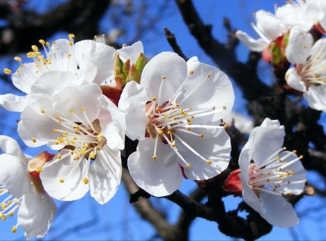 Don't miss the Spring Blossom Festival