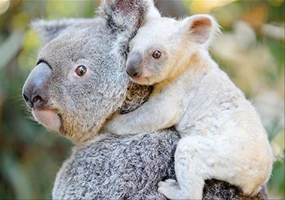 the description of the australian jewel the koala Posts about koala physical characteristics written by echidnaw.
