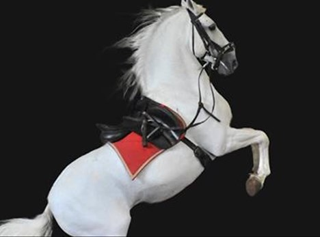 Rare performance by white stallions