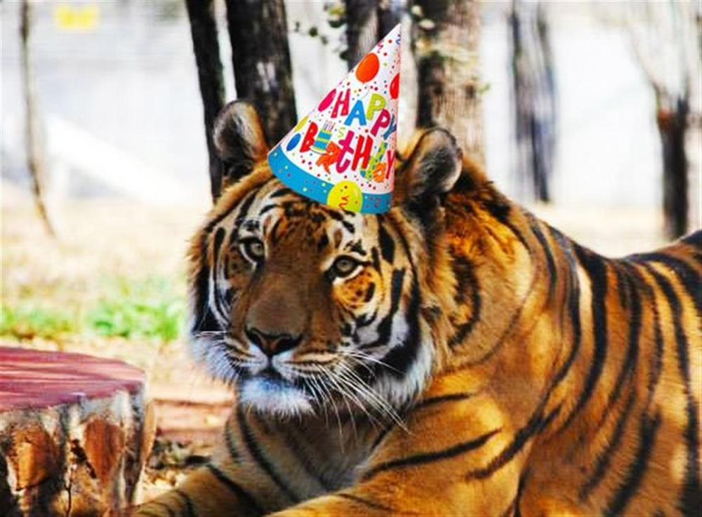 Тигр в открытках