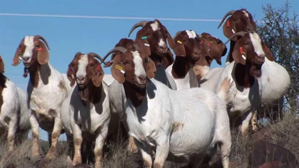 Winning With The Boer Goat George Herald